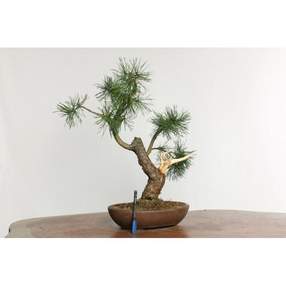 Pinus sylvestris - Y0022