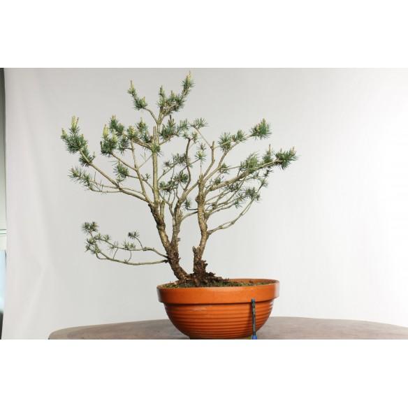 Pinus sylvestris - Y0023