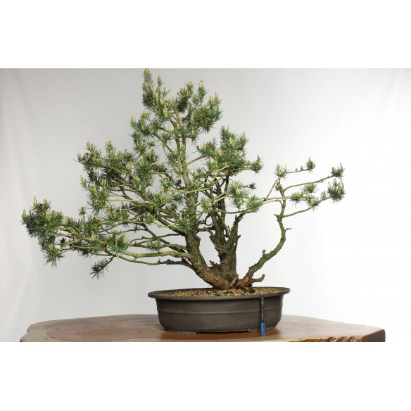 Pinus sylvestris - Y0024