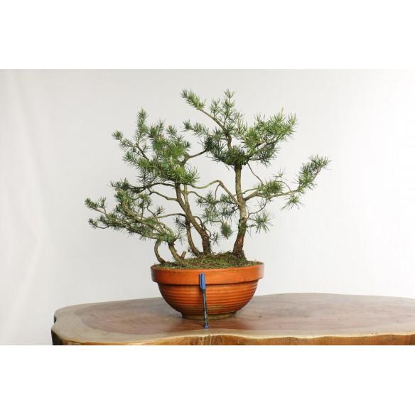 Pinus sylvestris - Y0026