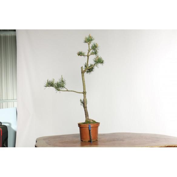 Pinus sylvestris - Y0027