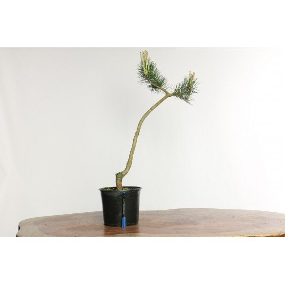 Pinus sylvestris - Y0028