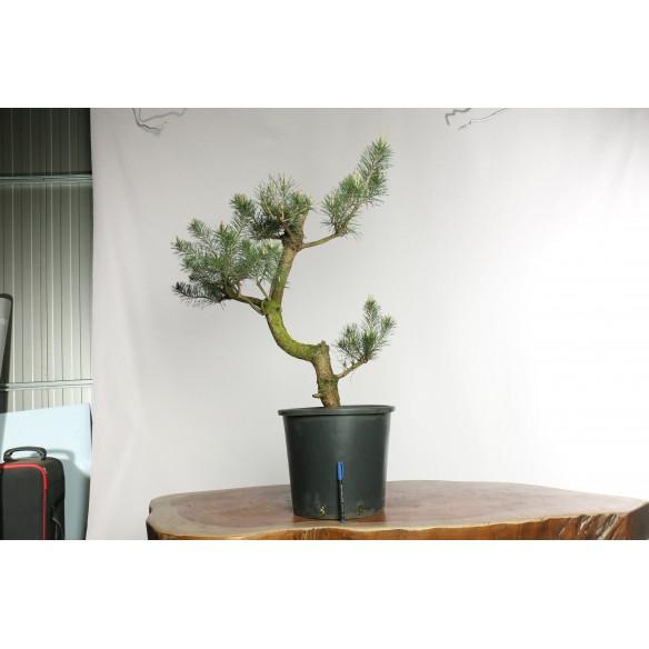 Pinus sylvestris - Y0029