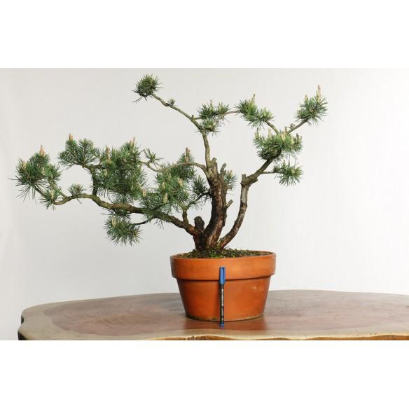 Pinus sylvestris - Y0030