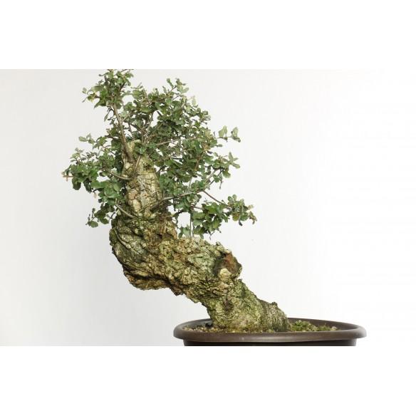 Quercus suber - Y0031