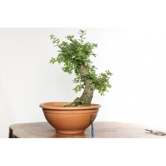 Quercus faginea - Y0032