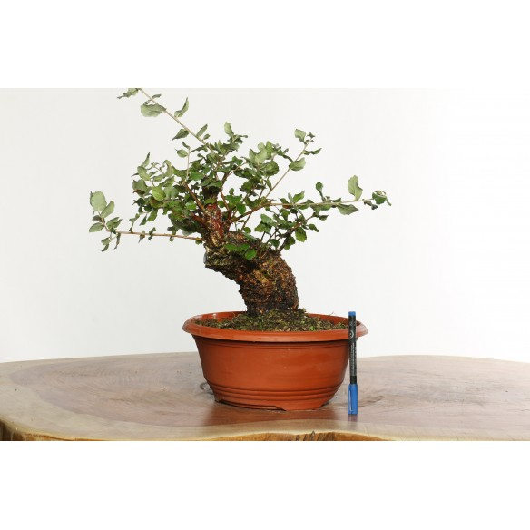 Quercus suber - Y0035