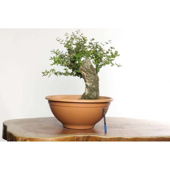 Quercus suber - Y0033