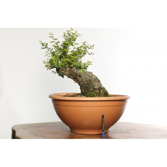 Quercus suber - Y0034