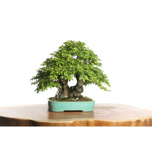 Carpinus turczaninovii - B0633