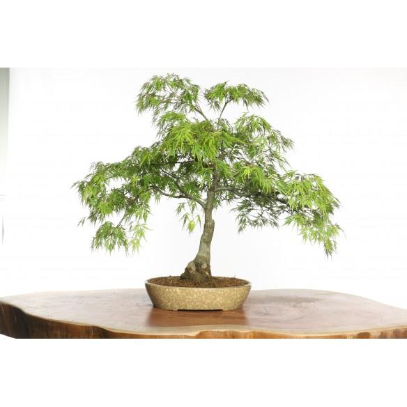 Acer palmatum 'dissectum' -...