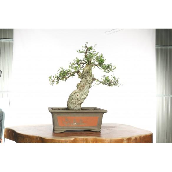 Quercus suber - Y0040