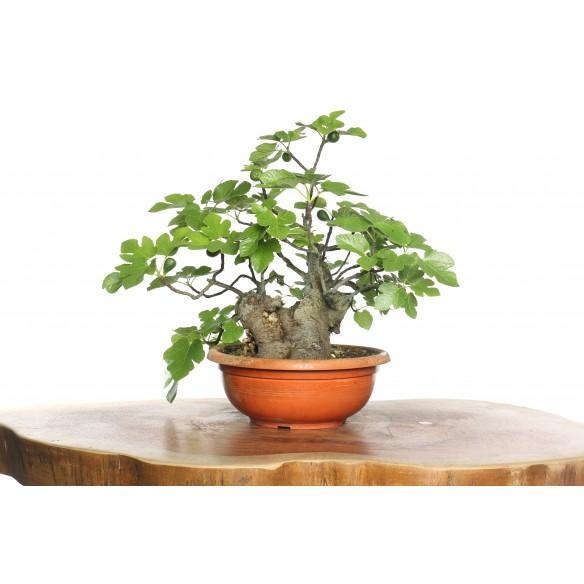 Ficus carica - Y0041