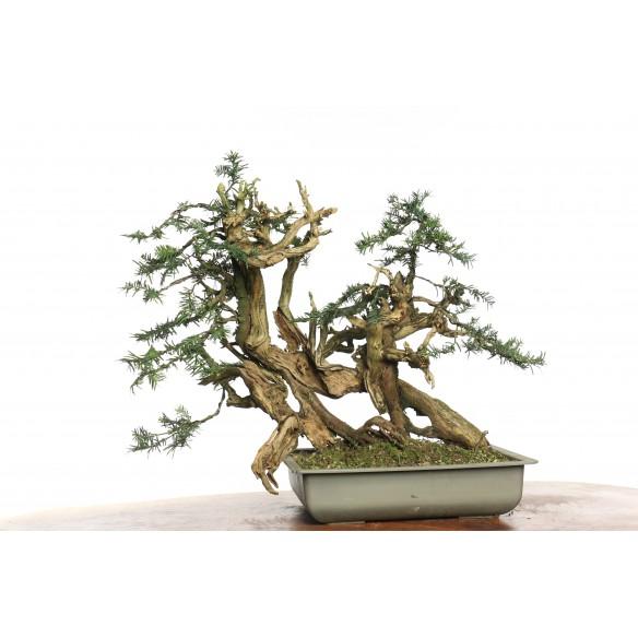 Taxus baccata (Tanuki) - Y0043