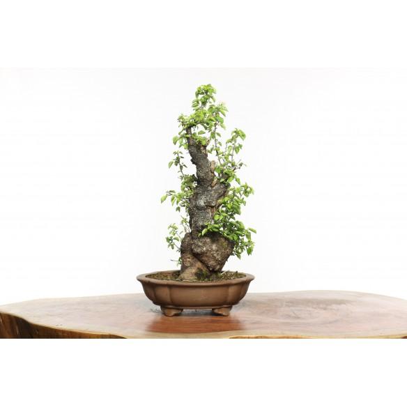 Prunus mahaleb - B0638