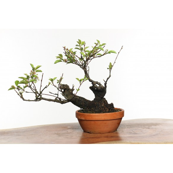 Prunus avium - B0784