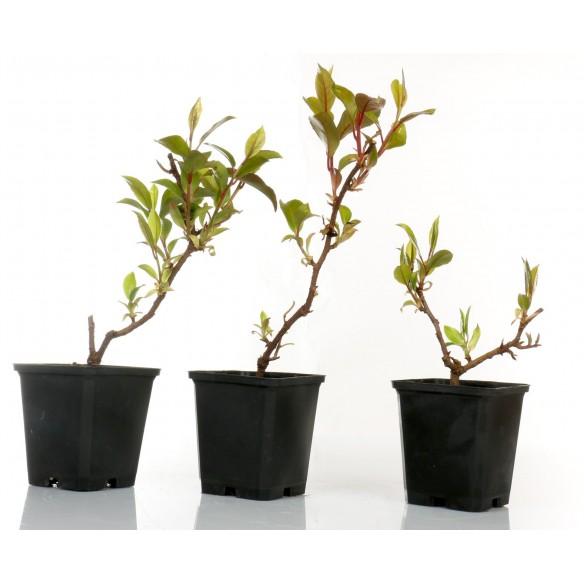 Katsura japonica
