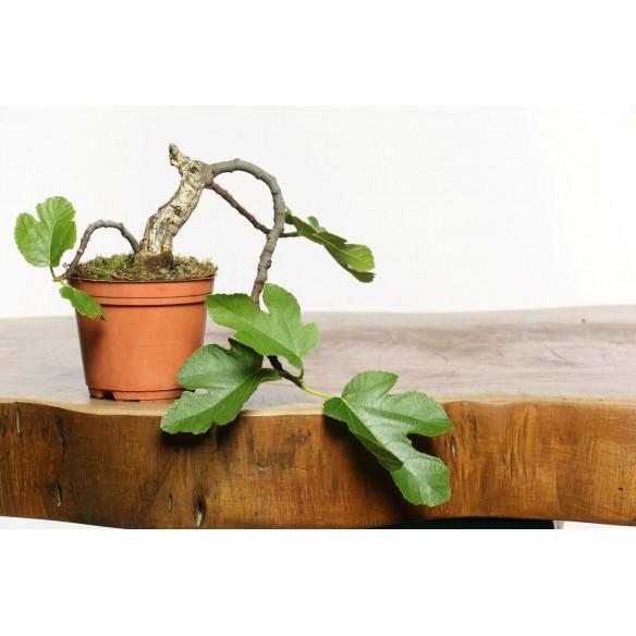 Ficus carica - Y0048