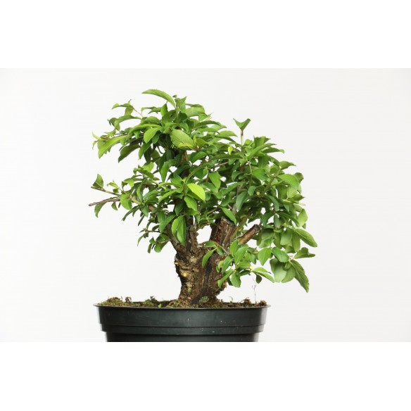 Prunus spinosa - B0644