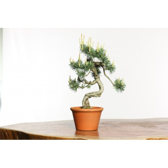 Pinus sylvestris - B0653