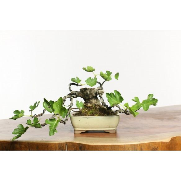 Ficus carica - B0658