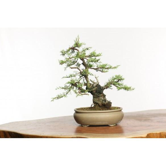 Juniperus phoenicia - B0660