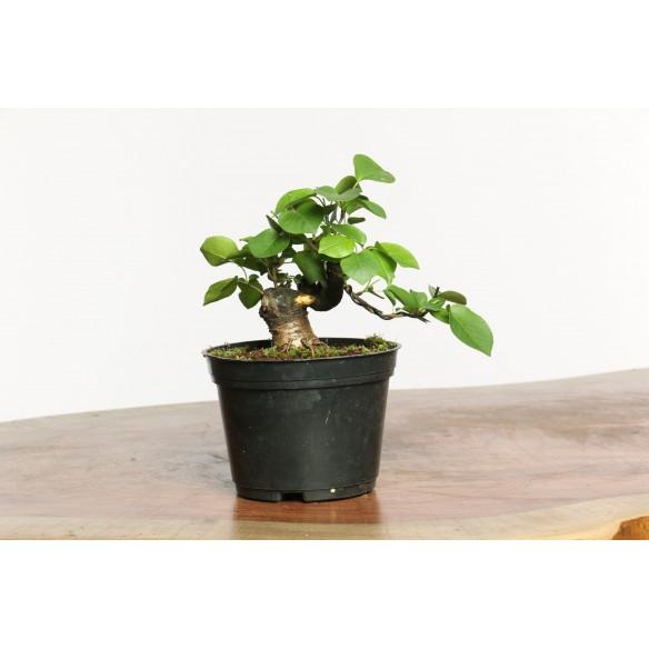 Prunus mahaleb - B0666