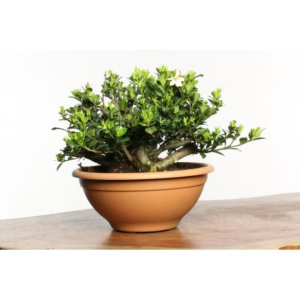 Gardenia jasminoides - B0668