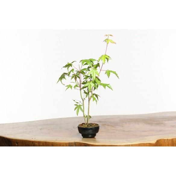 Acer palmatum 'yamamomiji'-...