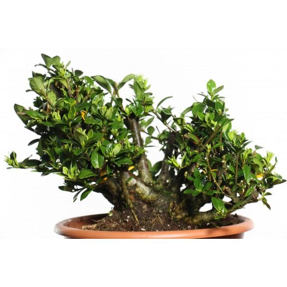 Gardenia jasminoides - B0710