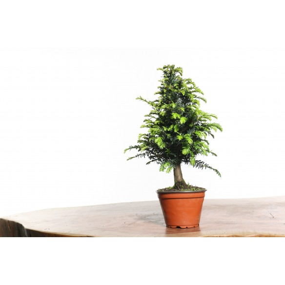 Taxus baccata - B0727