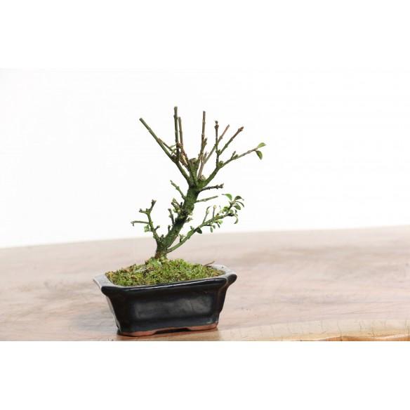 Euonymus sieboldii - B0732