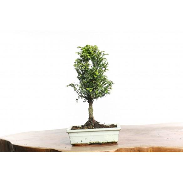 Taxus baccata - B0736