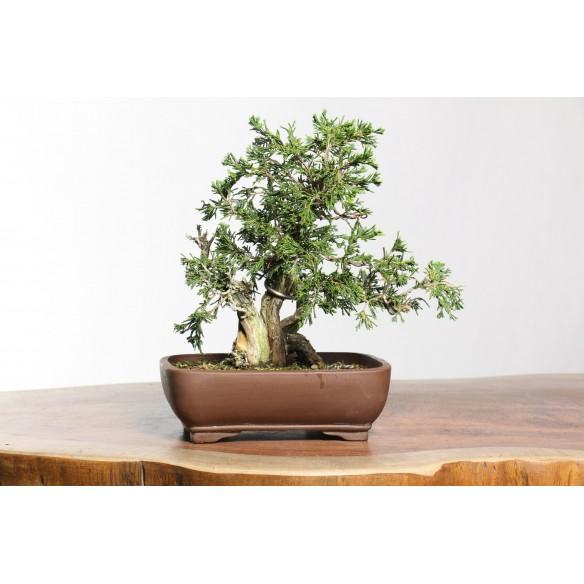 Juniperus sabina - B0741