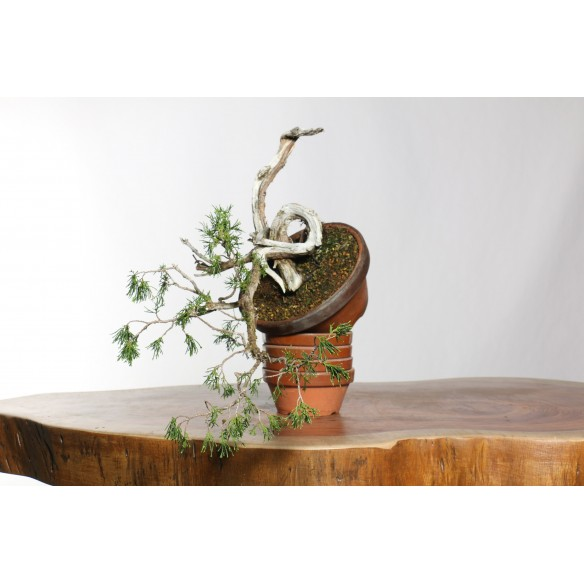 Juniperus sabina - B0744