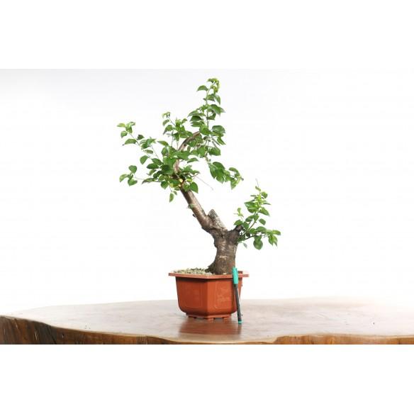 Prunus mahaleb - B0745