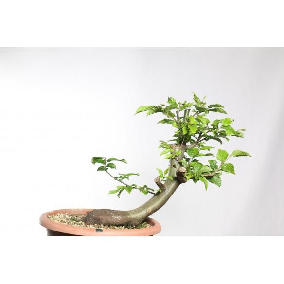 Carpinus betulus - B0746