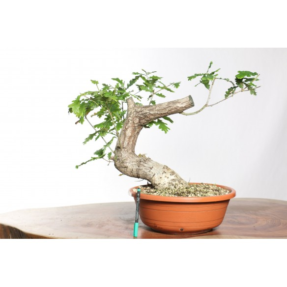 Quercus robur - B0747
