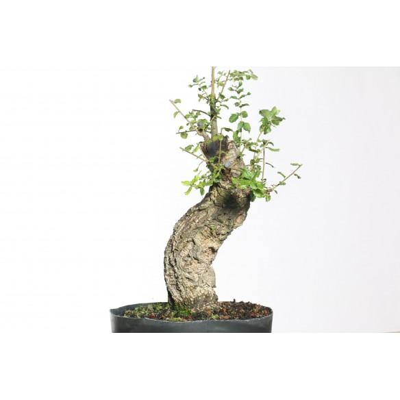 Quercus suber - B0750