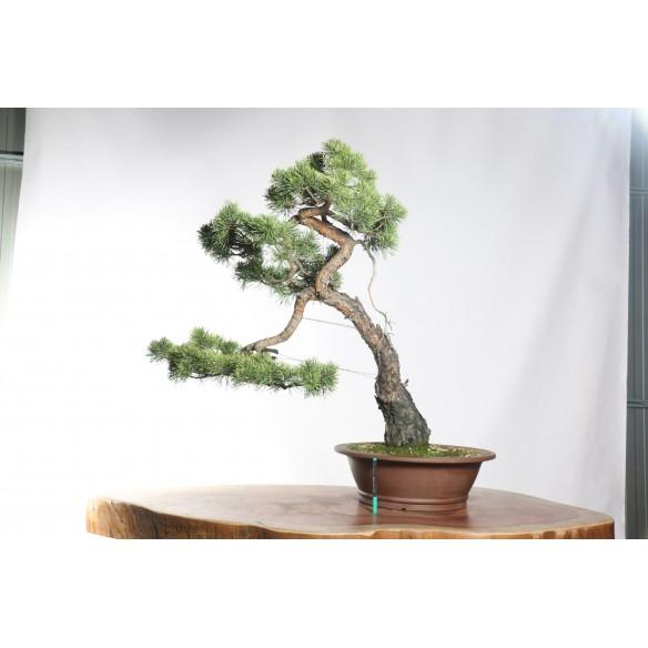 Pinus sylvestris - B0752