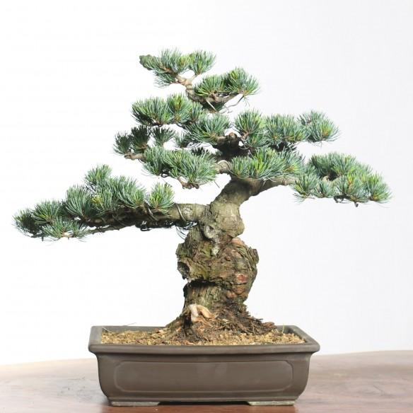 Pinus parviflora - B0753