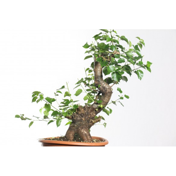Prunus mahaleb - B0755