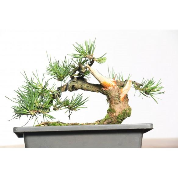 Pinus sylvestris - B0758