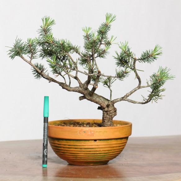 Pinus sylvestris - B0760