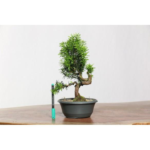 Taxus baccata - B0761