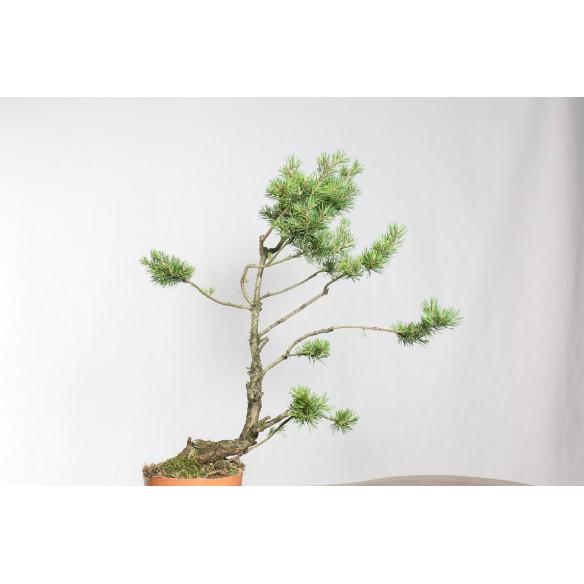 Pinus sylvestris - B0765