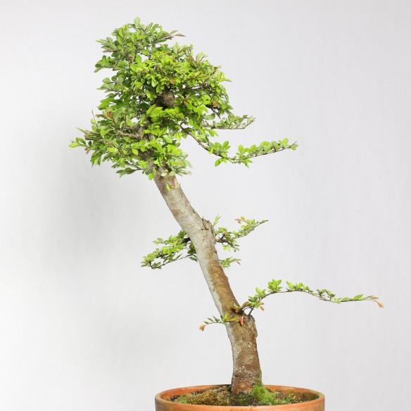 Ulmus parvifolia - B0767