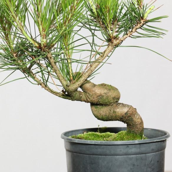 Pinus densiflora - B0770