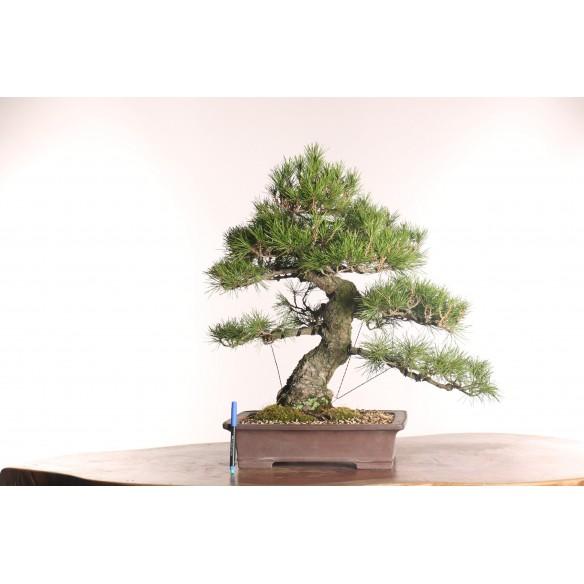 Pinus thumbergii - B0771