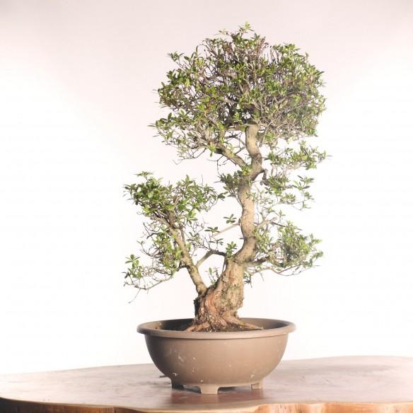 Azalea satsuki - B0772
